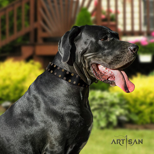 Great Dane daily walking leather collar with studs for your canine