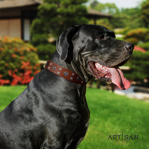 Great Dane remarkable genuine leather collar with rust resistant hardware