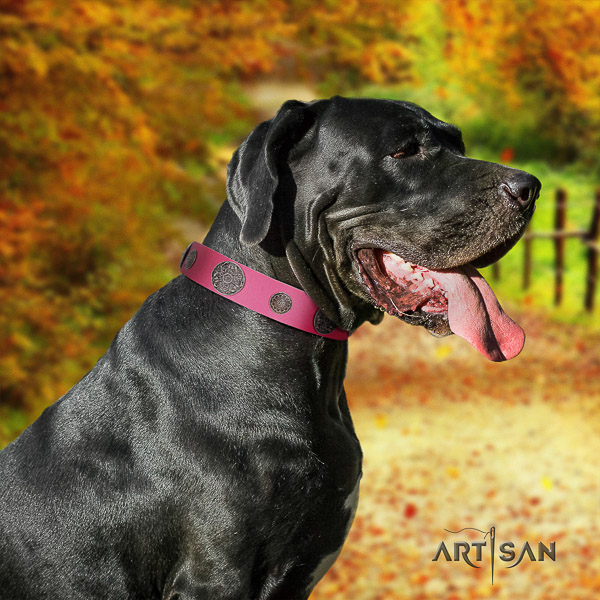 Great Dane comfy wearing leather collar with studs for your four-legged friend