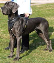 Perfect Training Leather Harness for Great Dane