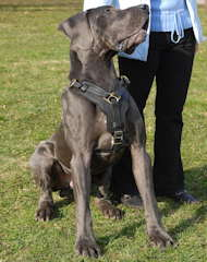 Great dane best leather dog harness