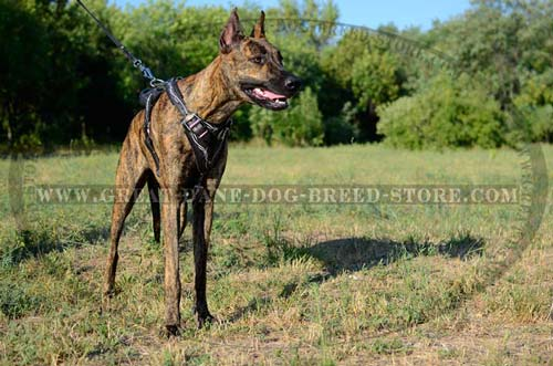 Barbed-Wire-Harness-For-Great-Dane-small