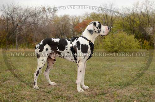 Great Dane Dog wearing Leather Harness