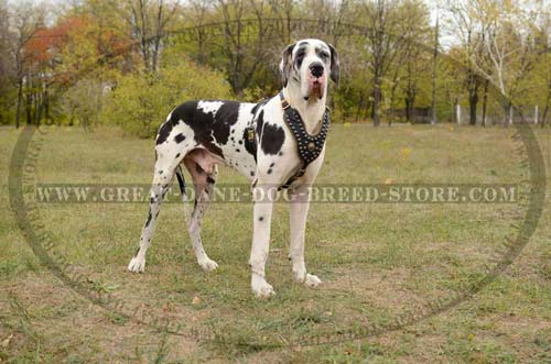 Great-Dane-Breed-Leather-Harness-For-Walking