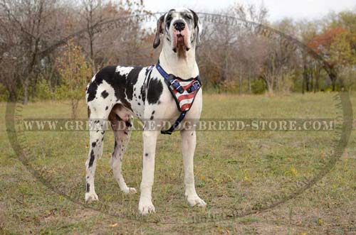 Great-Dane-Dog-Leather-Harness-With-American-Pattern