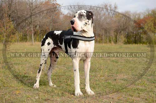 Exclusive Great Dane Harness