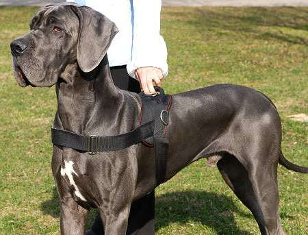 Nylon Dog harness with handle for dog training Great Dane