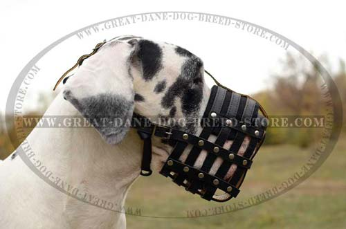Great Dane Dog wearing Leather Muzzle